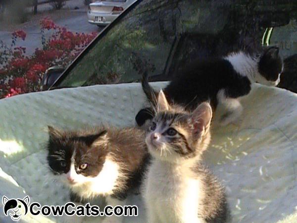 adopt a cat baby kittens phoenix arizona
