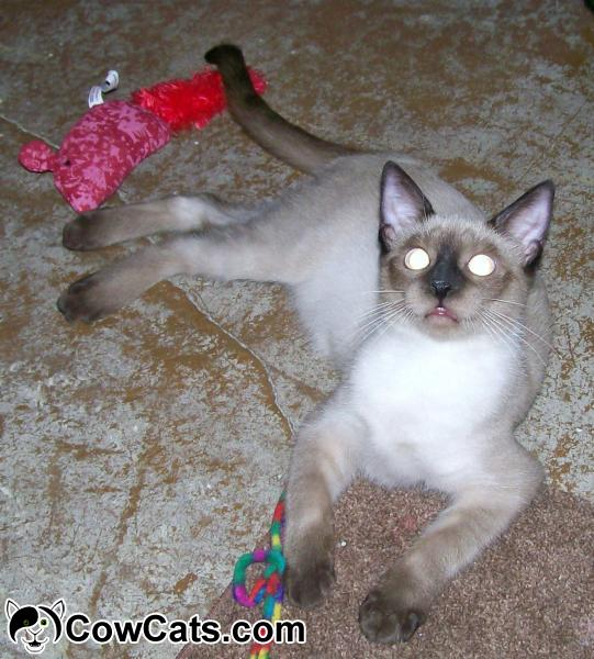 Siamese Cats For Adoption In Scottsdale