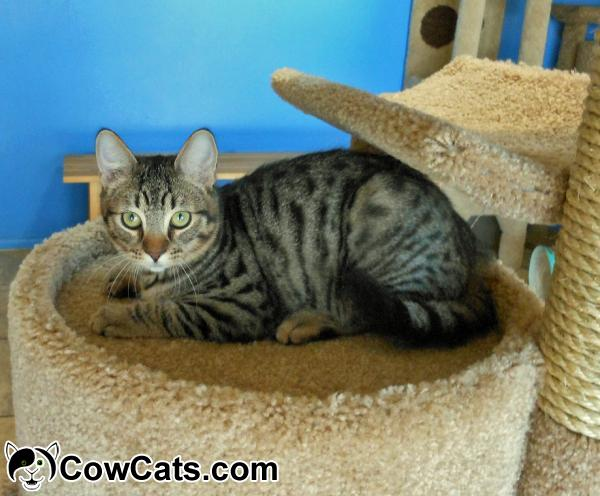Adopt a cat percy from glendale arizona