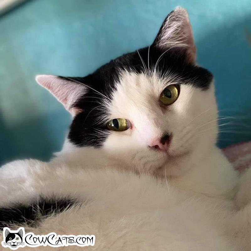 Adopt a Cat - Tai- Shan from Scottsdale Arizona