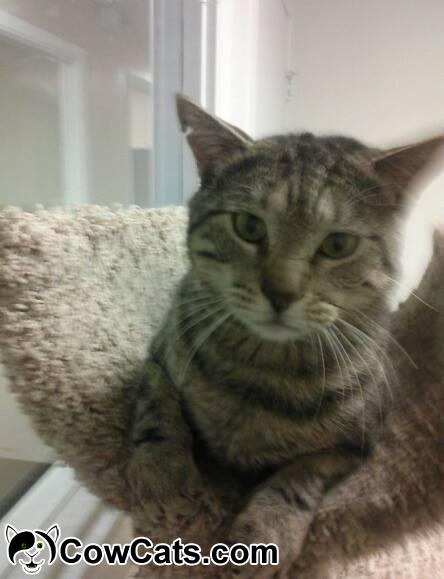 Adopt a Cat - Bartley from Tempe Arizona