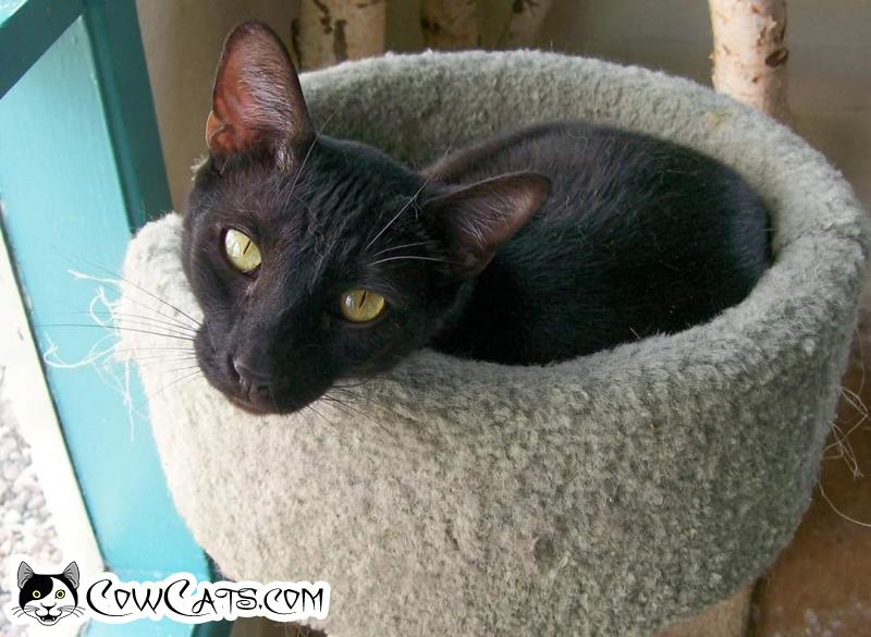 Adopt a Cat - Orson from Scottsdale Arizona