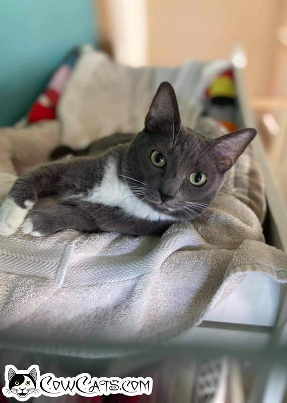 Adopt a Cat - Prada from Scottsdale Arizona