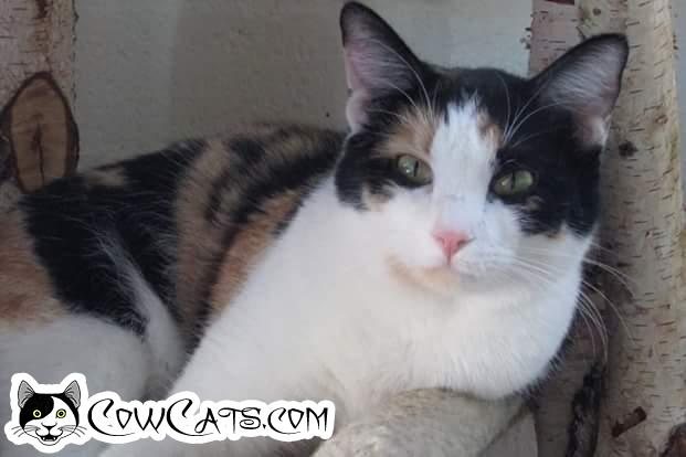 Adopt a Cat - Bridget from Scottsdale Arizona