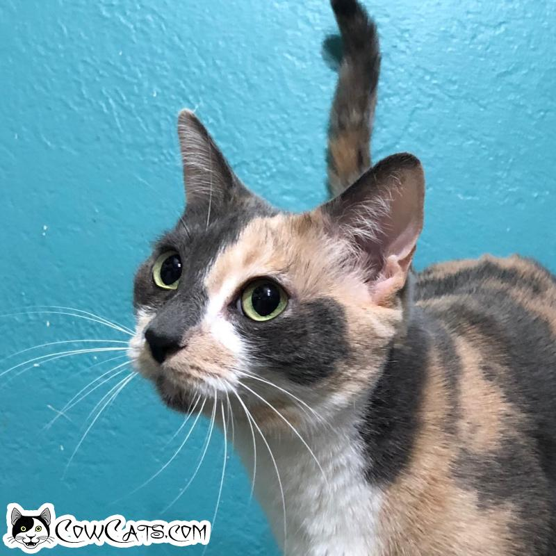 Adopt a Cat - Patches from Scottsdale Arizona