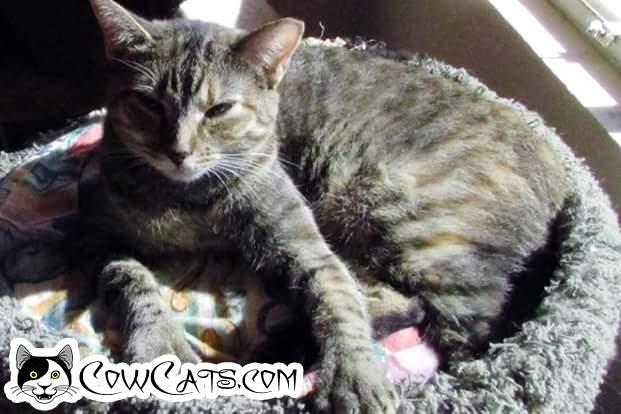 Adopt a Cat - Sandy from Scottsdale Arizona