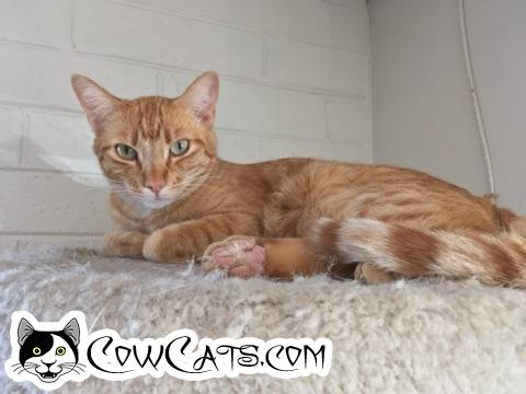 Adopt a Cat - Sunny from Scottsdale Arizona