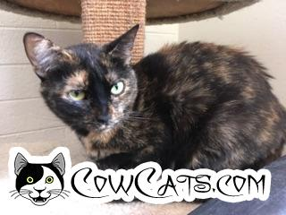 Adopt a Cat - Willow from Scottsdale Arizona