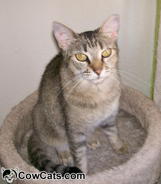 Adopt a Cat - Felicity from Scottsdale Arizona