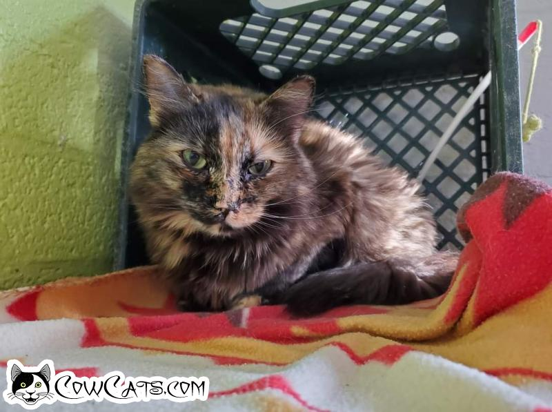 Adopt a Cat - Crystal from Scottsdale Arizona