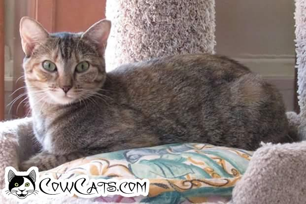 Adopt a Cat - Mitzi from Scottsdale Arizona