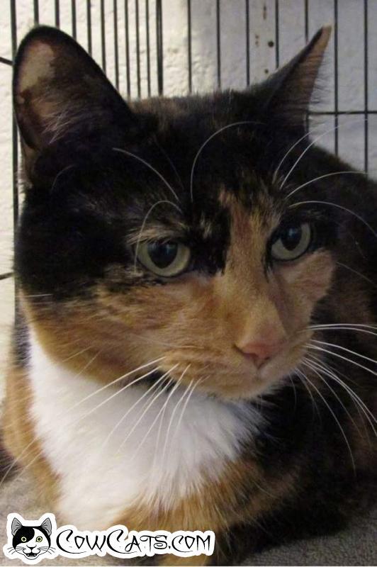 Adopt a Cat - Daisey Mae from Scottsdale Arizona