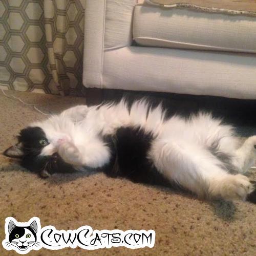 Adopt a Cat - Tayler from Tempe Arizona
