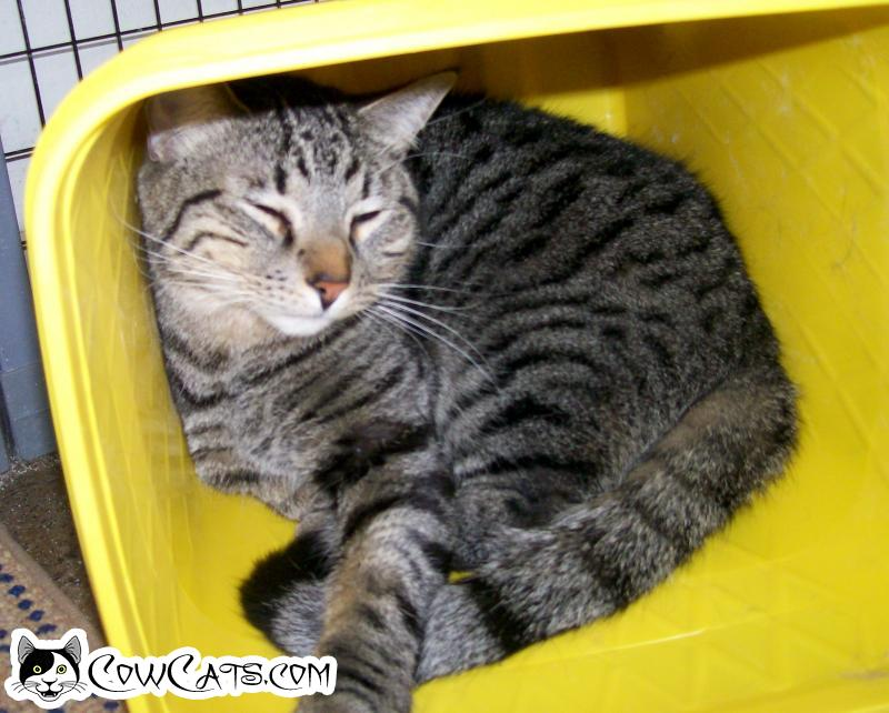 Adopt a Cat - Indiana from Scottsdale Arizona
