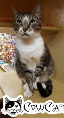 Adopt a Cat - Kenny from Tempe Arizona