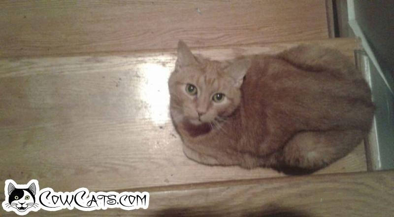 Adopt a Cat - Hobbes from Roswell Georgia