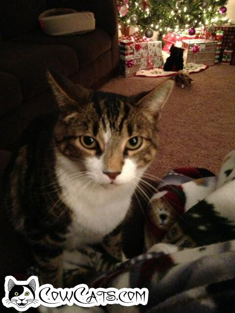 Adopt a Cat - Stanley from Three Rivers Michigan