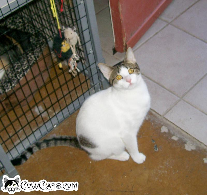 Adopt a Cat - Cocoa Puff from Scottsdale Arizona