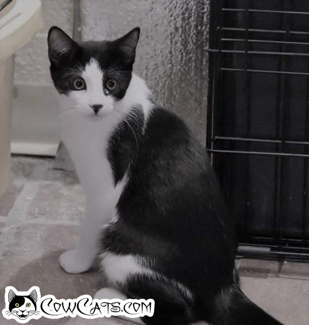 Adopt a Cat - Poulenc from Scottsdale Arizona