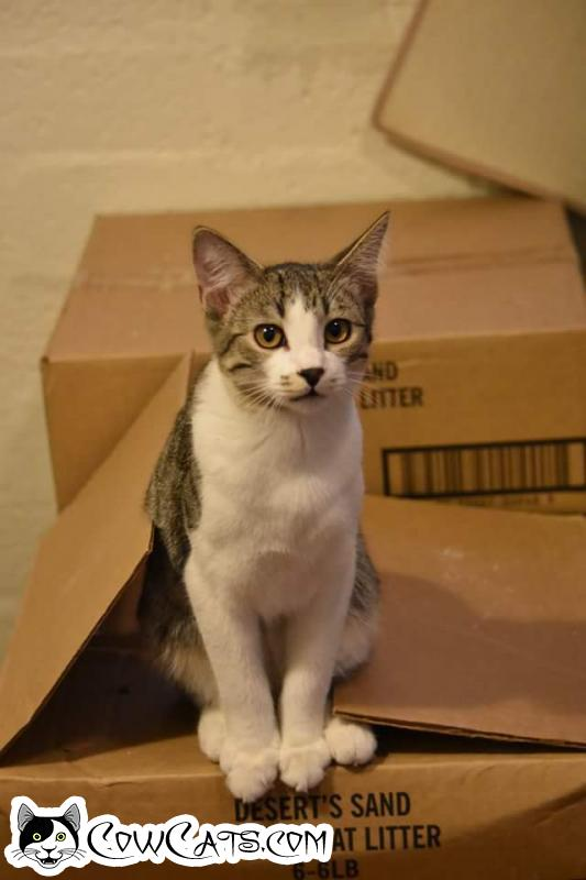 Adopt a Cat - Chopin from Scottsdale Arizona