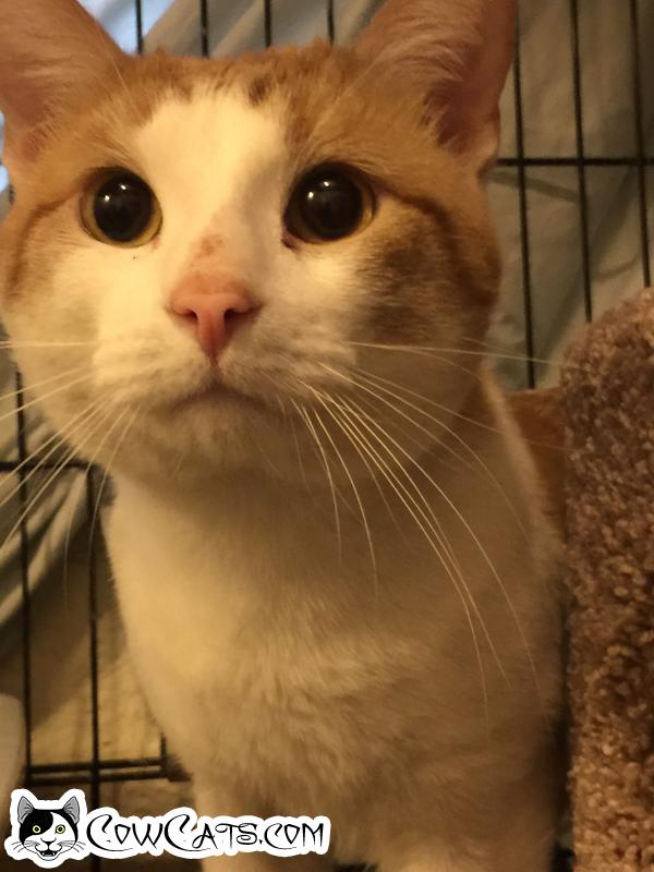 Adopt a Cat - Chester from Scottsdale Arizona