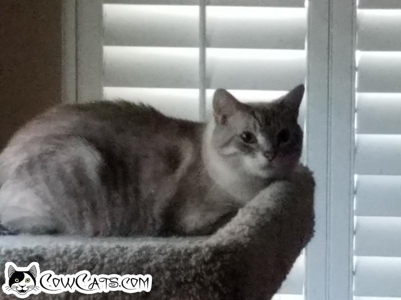 Adopt a Cat - Snoball from Gilbert Arizona