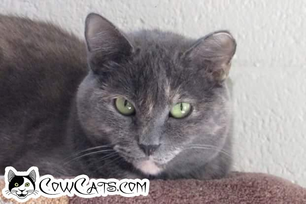 Adopt a Cat - Nadia from Scottsdale Arizona