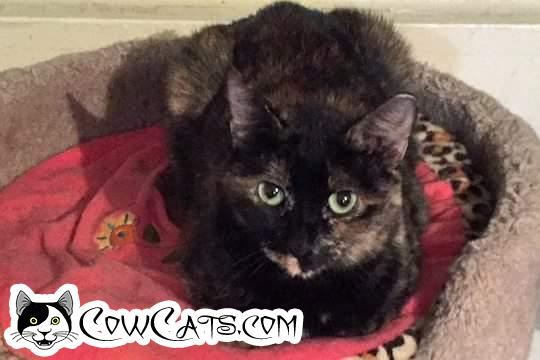 Adopt a Cat - Natasha from Scottsdale Arizona