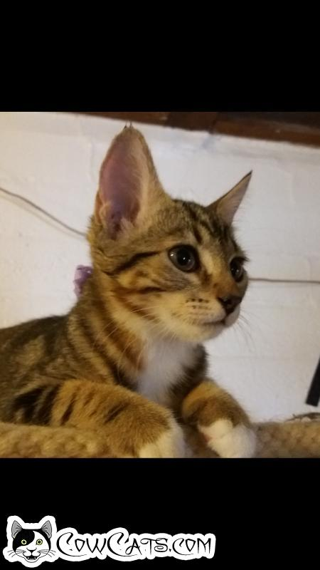 Adopt a Cat - Caramello from Scottsdale Arizona