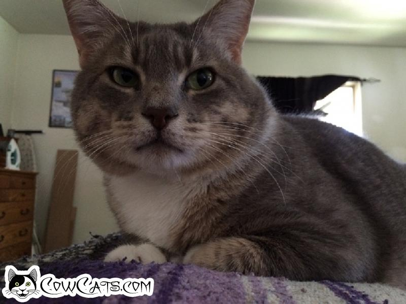 Adopt a Cat - Hal from Elgin Illinois