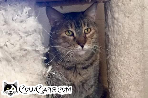 Adopt a Cat - Mystery from Scottsdale Arizona