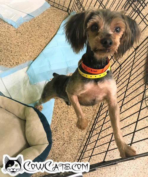 Adopt a Dog - Peter Pan from Tempe Arizona