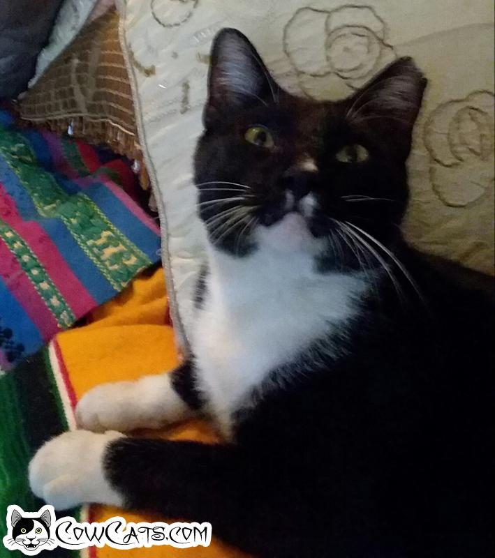 Adopt a Cat - Smudge from Phoenix Arizona