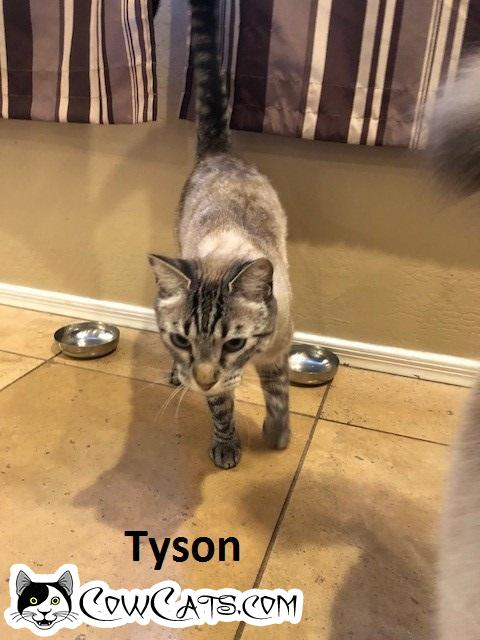 Adopt a Cat - Tyson from San Tan Valley Arizona