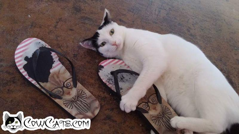 Adopt a Cat - Taylor from Scottsdale Arizona