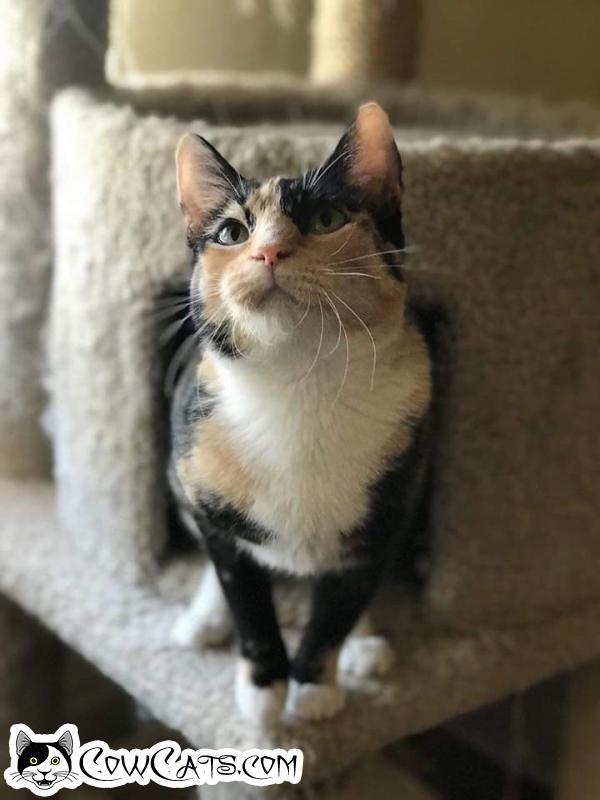 Adopt a Cat - Cheyenne from Scottsdale Arizona