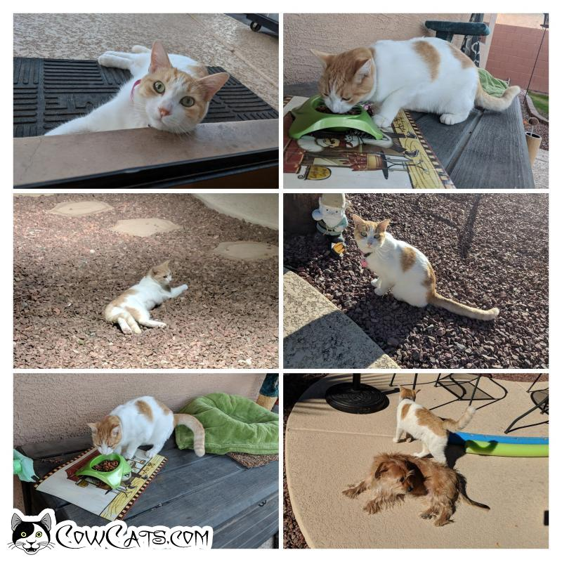 Adopt a Cat - Daphne from Chandler Arizona
