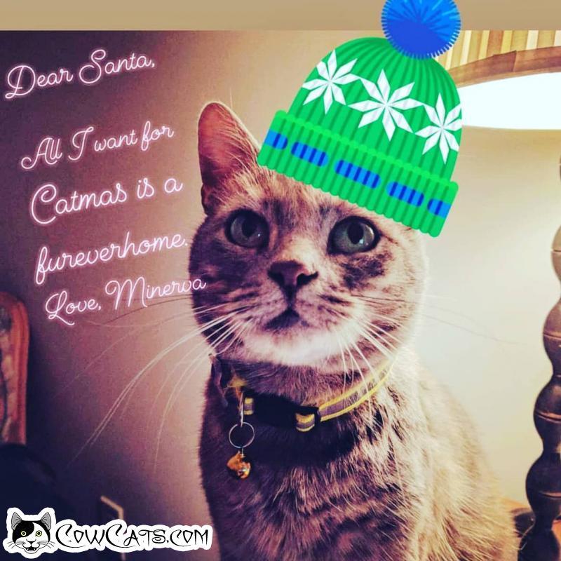 Adopt a Cat - Minerva from Phoenix Arizona