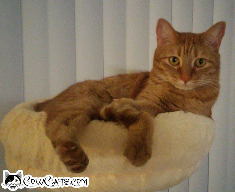 Adopt a Cat - George from Glendale Arizona