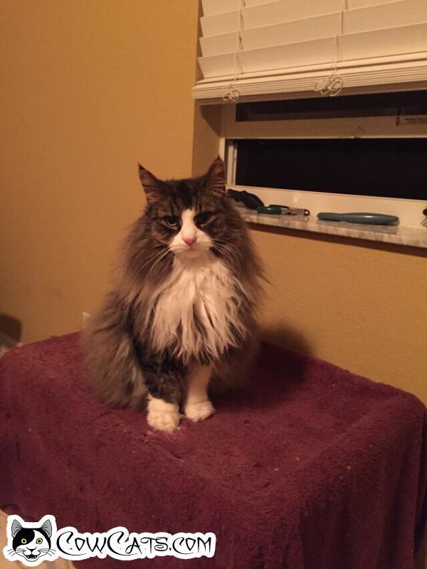 Adopt a Cat - Merlin from Litchfield Park Arizona