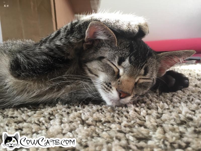 Adopt a Cat - Luna from Chandler Arizona