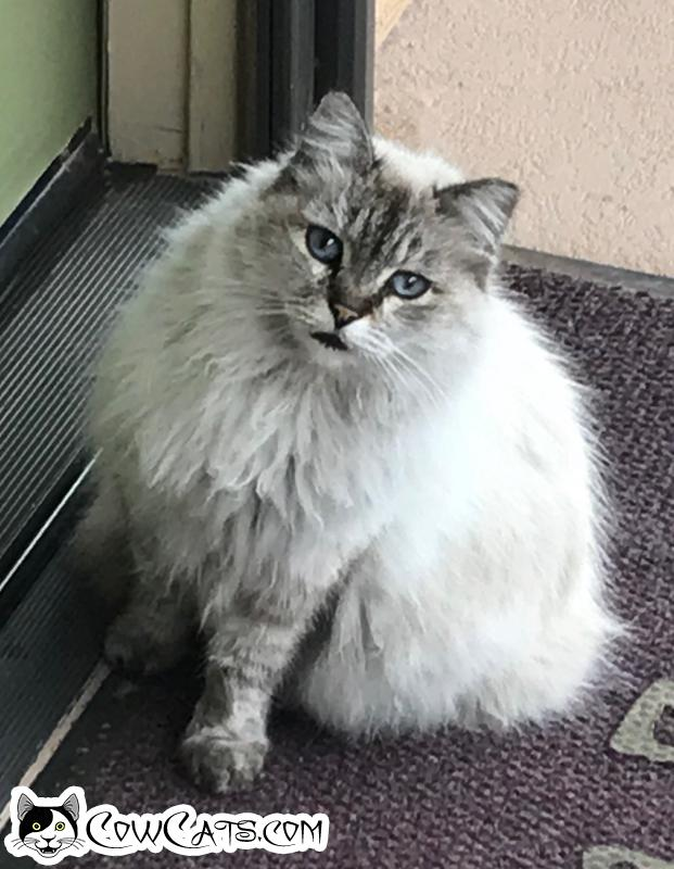 Adopt a Cat - (unknown) from Mesa Arizona