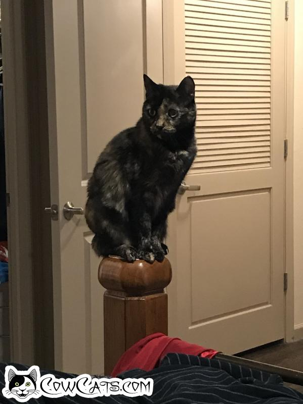 Adopt a Cat - Raja from Phoenix Arizona