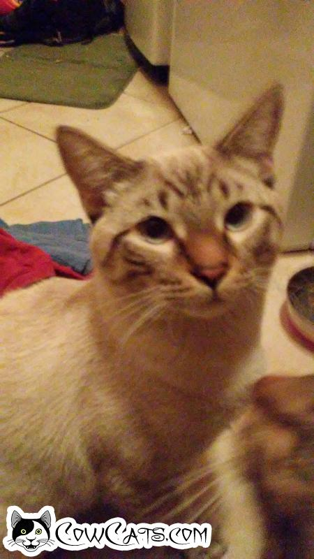 Adopt a Cat - Buddha from Avondale Arizona