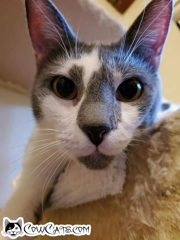 Adopt a Cat - Tommy from Scottsdale Arizona