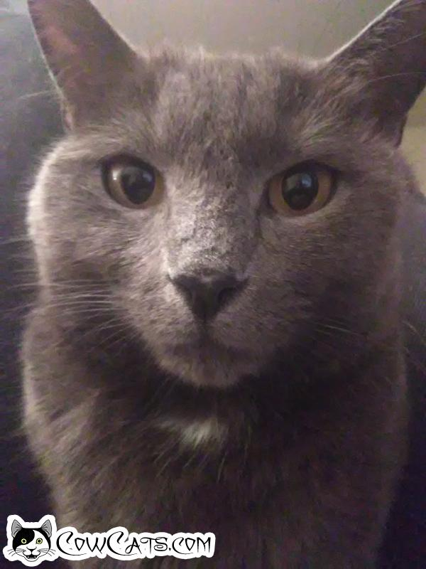 Adopt a Cat - Blue from Glendale Arizona