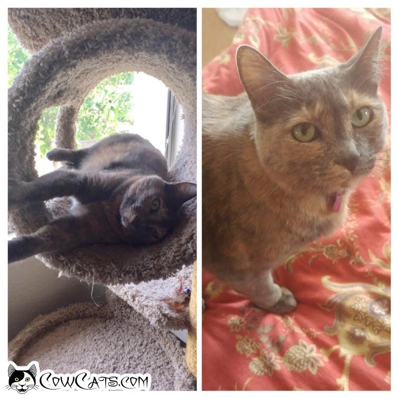 Adopt a Cat - Missy from Phoenix Arizona