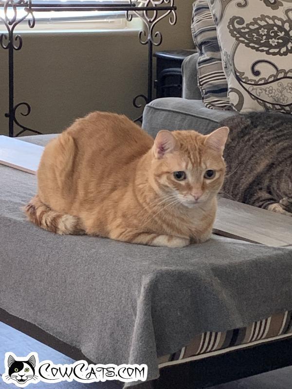 Adopt a Cat - Tiberius from Phoenix Arizona
