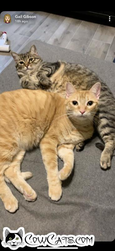 Adopt a Cat - Athena from Phoenix Arizona