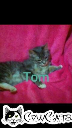 Adopt a Cat - Tom from San Tan Valley Arizona